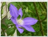 植物-毛茛科:毛茛科-鐵線蓮04