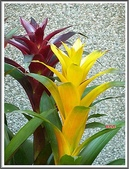 植物-鳳梨科:鳳梨科-紫.黃擎天鳳梨