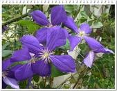植物-毛茛科:毛茛科-鐵線蓮13