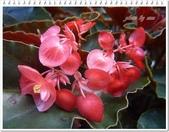 植物-秋海棠科:秋海棠科-大紅秋海棠01