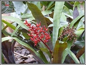 植物-鳳梨科:鳳梨科-珊瑚鳳梨