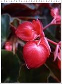 植物-秋海棠科:秋海棠科-大紅秋海棠04