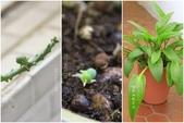 Ann的小花園:闊葉油點百合20140518~1001.jpg