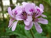 植物-牻牛兒苗科:牻牛兒苗科 -檸檬天竺葵