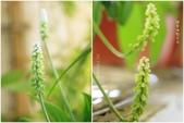 Ann的小花園:闊葉油點百合20170505~0506.jpg