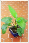 Ann的小花園:闊葉油點百合20170607.JPG