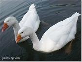 (yahoo)鵝。鴨:白鵝-大湖公園