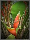 植物-旅人蕉科。棕櫚科:旅人蕉科-艷紅赫蕉01(植物園)