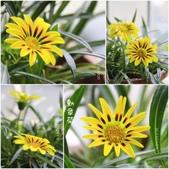 Ann的小花園:勳章菊20150509~0605.jpg