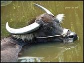 (yahoo)水牛:水牛-動物園