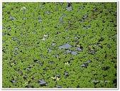 (yahoo)蕨類植物:蕨類植物-滿江紅科-滿江紅03