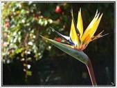 植物-旅人蕉科。棕櫚科:旅人蕉科-天堂鳥蕉06