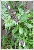 植物-唇形科:唇形科-羅勒03