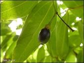 植物-樟科:樟科-陰香(二)19