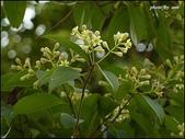 植物-樟科:樟科-陰香(二)13