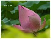 (yahoo)蓮花。荷花。千年桐:2010荷花22