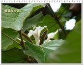 植物-梧桐科:槭葉翅子樹16