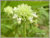 植物-唇形科:頭花四方骨09