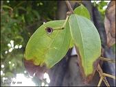 植物-樟科:樟科-陰香