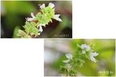 Ann的小花園:檸檬羅勒20140831~0904.jpg