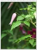 植物-毛茛科:毛茛科-鐵線蓮17