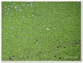(yahoo)蕨類植物:蕨類植物-滿江紅科-滿江紅02