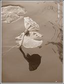 (yahoo)蓮花。荷花。千年桐:2010荷花32