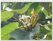 植物-梧桐科:槭葉翅子樹18
