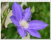 植物-毛茛科:毛茛科-鐵線蓮16