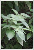 植物-唇形科:唇形科-美羅勒04