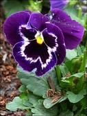 植物-堇菜科:堇菜科-三色堇