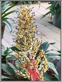 植物-鳳梨科:鳳梨科-紅苞蜻蜓鳳梨