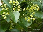 植物-樟科:樟科-陰香(二)15
