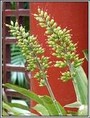 植物-鳳梨科:鳳梨科-白果鳳梨