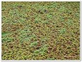 (yahoo)蕨類植物:蕨類植物-滿江紅科-滿江紅07