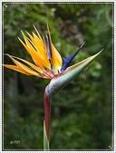植物-旅人蕉科。棕櫚科:旅人蕉科-天堂鳥蕉08