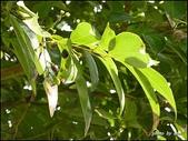 植物-樟科:樟科-陰香(二)03