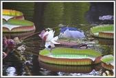植物-睡蓮科:睡蓮科~克魯茲王蓮(大王蓮)16