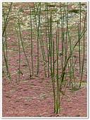 (yahoo)蕨類植物:蕨類植物-滿江紅科-滿江紅10