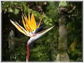 植物-旅人蕉科。棕櫚科:旅人蕉科-天堂鳥蕉05