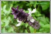 植物-唇形科:唇形科-羅勒05