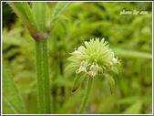 植物-唇形科:頭花四方骨12