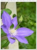植物-毛茛科:毛茛科-鐵線蓮05