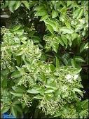 植物-樟科:樟科-陰香(二)23