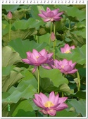 (yahoo)蓮花。荷花。千年桐:2012疏洪荷花公園荷花20