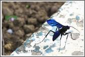 昆蟲:_MG_8675.JPG