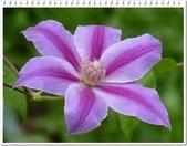 植物-毛茛科:毛茛科-鐵線蓮15