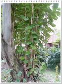 植物-梧桐科:槭葉翅子樹02