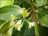 植物-樟科:樟科-陰香(二)20