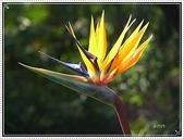 植物-旅人蕉科。棕櫚科:旅人蕉科-天堂鳥蕉02
